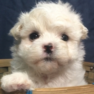 Leia/Maltese/Female/12 Weeks,Introducing Leia! She is just as cute as a button. She's active and strong. She's also curious and brave. She gives the sweetest kisses. When she comes home to you, she will be vet checked and up to date on her vaccinations. Give us a call today and make those sweet kisses all yours! Leia will be coming home to you up to date on her vaccinations and will have a full head to tail checkup. Don't miss out on this lovable girl. She will be the perfect puppy addition to your family!