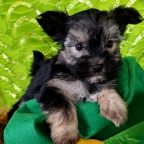 "Leon/Yorkshire Terrier/Male/10 Weeks,""Look at me! I am probably the cutest, little puppy you ever did see. Everyone that sees me always tells me how beautiful I am, and they can't help but shower me with love, hugs, and kisses. I'm hoping that one day you'll be able to do the same. I love to play and I can even take a nap with you when you want. Pick me! I'm ready to share my love. I am current on my vaccinations and vet checked from head to tail, so when I see you I will be as healthy as can be."""