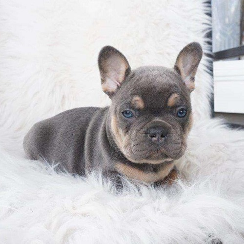 Seth/French Bulldog/Male/9 Weeks,Here comes Seth, an adorable French Bulldog puppy! This sweet pup is up to date on shots and dewormer, comes with a one year genetic health guarantee provided by the breeder, plus will be vet checked. Seth is family raised and plays with children often, he would make a great addition to any family. He can also be registered with the AKC and microchipped upon request. If you are interested in lear