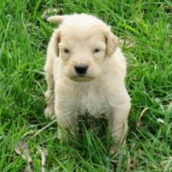 Tucker/Goldendoodle/Male/4 Weeks