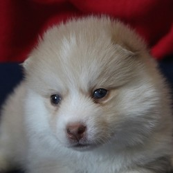 Jack/Pomsky/Male/4 Weeks,Jack is a little darling who loves taking naps and sticking close to mom. He is beginning to become a bit more adventurous, and loves exploring with his litter mates. He will arrive to you up to date on his vaccinations, along with a full nose to tail vet check. Jack promises not to disappoint and is patiently waiting just for you! Don't miss out on calling this cutie yours!