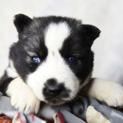 Sandy/Siberian Husky/Female/5 Weeks,Talk about gorgeous! This cutie has everything you could ask for: looks, personality and attitude! She loves to walk around strutting her stuff! She's pre-spoiled and is treated like the little princess she is. When arriving to her new home, Sandy will arrive up to date on vaccinations, vet checked, and pre-spoiled. Imagine waking up to loving puppy kisses every morning! Hurry, this cutie has her bags packed and is ready to venture off to her new home!