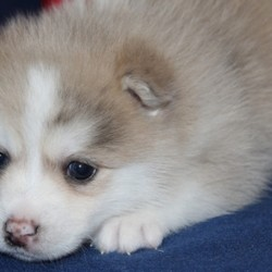 Mordecai/Pomsky/Male/4 Weeks,Mordecai loves a good, long nap, which is great because that's exactly what a growing puppy needs! Content to stick by mom and litter mates, this little guy will snooze everyone under the table, only waking up just in time to get a good drink of mother's milk. He will be up to date on his puppy vaccinations and vet checks just in time to come to his new home. Don't miss out on the newest addition to your family. He will be sure to steal your heart away.