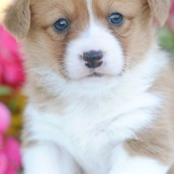 Michelle/Pembroke Welsh Corgi/Female/