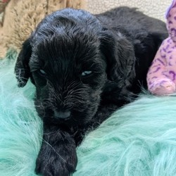 """Patsy/Goldendoodle/Female/,""""Well, hello there! My name is Patsy, and it's a pleasure to meet you. I am looking for the perfect family for me. I love being the center of attention and making my friends and family laugh. I am the all-around perfect pup! I look forward to my walks and nap times. Just put on a good movie and I will be there curled up right next to you before you know it. I promise to come home up to date on my puppy vaccinations and pre-spoiled. I am a very happy, healthy puppy and I am sure I will make that perfect addition to your loving family. Make me the newest member and I will be sure to have puppy kisses waiting just for you."""""""