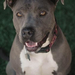 Adopt a dog:Kiri/American Staffordshire Terrier/Female/Senior,Kiri is a very sweet loving girl. She loves walks and loves to be silly. She is good with most smaller dogs. Kiri is fine with children as well. She is looking for a loving forever home in her senior years. Kiri is up to date on all routine vaccinations, chipped, and spayed. If you would like more information on Kiri please contact us at 818-994-8138.
