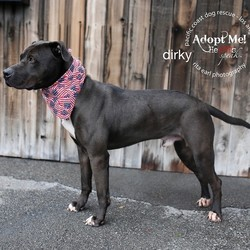 Adopt a dog:Dirky/Mastiff/Male/Adult,THIS IS A COURTESY LISTING - PLEASE CONTACT Ingrid (310) 480 6030    pcdrapps@yahoo.com  Handsome, smart and trained! Dirky is the full package! He's a big guy with a soft heart, he loves to say hello to everyone. Dirky is very exuberant and active. He is looking for someone with common sense and who is interested in utilizing the professional training, Dirky has already received. Dirky is great in the house and loves car rides. He is always up for fun and interested in everything. He's absolutely stunning and a great cuddler. Dirky will need an adult home with yard access. Ingrid (310) 480 6030 pcdrapps@yahoo.com