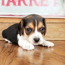 Milo/Beagle/Male/