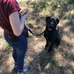 Adopt a dog:Orbit/Labrador Retriever/Male/Young,
