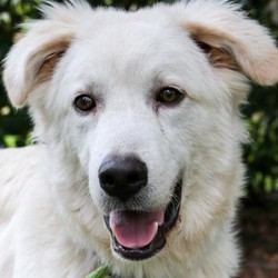 Adopt a dog:Blake/Great Pyrenees/Male/Young,Meet Blake a special, cute boy, born approximately August 2019, is looking for a special home.  Blake was found as a stray in North Texas with his sister who would not leave his side . A kind lady found them and contacted GPRS. When our rescue volunteer arrived, Blake's body was lifeless, extremely emaciated and he could not stand due to an injured leg. Our volunteer immediately took him to the vet and was told he would most probably need an amputation to address an old and very painful break. But Blake had a strong will and with the help of the vet and GPRS, he recovered and his leg has healed without having it removed. Now he's happy, healthy and quite the lovebug. He will walk and run a little funny the rest of his life and later in life he may need supplements. After all that he has been through, he is still a sweet boy who loves everyone he meets. He is great with kids and loves to play! Blake is inquisitive, bouncy and fun but he also loves to be cuddled.  He would require a canine companion that isn't rough as they might hurt his leg while playing. He loves the companionship of other animals and needs another dog to act as his mentor as he continues to understand the rules of his new world. He will need someone who can be home with him a lot and provide him with love, patience and boundaries to help him become a loyal companion.  If you are the special family, our special boy Blake seeks, please complete an application today. He is in Texas and can be transported to the Northwest.  PUPPIES ARE ONLY PLACED IN HOMES WITH YOUTHFUL, PLAYFUL RESIDENT DOGS.  Our requirements for puppy adoption are simple and necessary.  Our puppies are not livestock guardians, they are family pets that live inside the family home. Puppies must be placed in homes with a youthful, adult resident dog of similar size. This gives the puppy a mentor and a solid foundation for becoming part of the family. Puppies are only adopted to homes with s