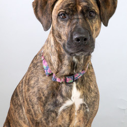 Adopt a dog:Izzy/Mastiff/Female/Adult,Izzy was surrendered to NCCR as she would dart out the door and run off any chance she could get.  She is a 3 year old Mastiff/German Shepherd mix.  Izzy is friendly with people and we are told she gets along with dogs, cats  and kids. A fenced yard is strongly preferred due to her tendency to take advantage of any opportunity to slip out the door.   Training to eliminate this behavior is recommended for Izzy's safety in her new home.    Izzy is spayed, vaccinated and microchipped. Her adoption fee is $190.00. (cash or check only, we are unable to accept credit cards)  If you think you might be interested in adopting, your first step should be to complete an adoption application. APPLICATION to ADOPT: Copy and paste this link in your browser to view and complete the application https://forms.gle/NghtT4WTNiaZu7Cg9. You can also select the link, right click and choose open in a new window.  We do adopt out of state, however we do not transport or ship dogs.  Potential adopter must be able and willing to travel to the Rescue to meet the dog they are interested in.    *PLEASE double check all of the phone numbers that you provide as if they are incorrect, we will be unable to process your application.  Please also let your references know that someone from NCCR will be calling them. Most adoption team members call from their personal phone so advise your references that there may be an unknown number or a private number calling them.    NYS Registration #RR028.
