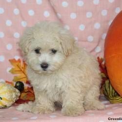 Kupcake/Female /Female /Maltipoo Puppy