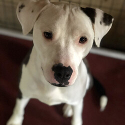 Adopt a dog:Harris/Pit Bull Terrier/Male/Baby,yr Pit/Dalmatian mix, 50lbs. Came into the shelter as an older puppy, was not able to be leashed. Does an alligator roll when leashed. Needs leash training with time and patience. Will tolerate collars and harness as long as they are not connected to a leash. He is very loving with people and kids. He needs time to not be scared of the situation he is in. If someone had a fenced in yard where he could just go in and out of the house until he learns to accept a leash that would be great!