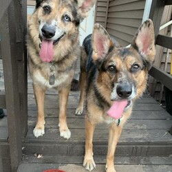Adopt a dog:Me/Australian Shepherd/Female/Adult,Bella is a smart, spunky and proud girl. She loves to play fetch for as long as your arm will allow, this girl has energy. She is great in the home, neat and loves to share her crate with her brother. Bella would be a great pup for a family that has experience with shepherds, likes to be outside and enjoys walking. She is bonded to her brother and they must be adopted together. Both dogs have never been apart. Bella does best with her brother and other calm dogs, she is very prey driven and cant be with little animals. Children over 13 are best and a fenced in yard helps, but isn't a requirement. There is some on going training that is required in order to adopt these dogs but the rescue will give the information to all those interested. Please call or email us at:  info@redemptionroadinc.org or 847-338-3252, ask for Kseniya