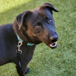 """Adopt a dog:Baloo/Labrador Retriever/Male/Young,""""Look for the bare necessities. The simple bare necessities. Forget about your worries and your strife."""" I hope I am your bare necessity and help you forget about all your worries! My name is Baloo! I am a handsome, 1 year old, 53lb., Lab mix fella! I am cuddly and love meeting new people! I am good with other dogs and older kids! I am house and crate trained! I am learning manners when on the leash! I would like a fenced in yard in my forever home but it is not a requirement! I love to go on adventures in the car too! The bare necessities of life will come to you. I can't help but think yours is Baloo!       My adoption fee is $150 and includes my spay/neuter, vaccinations, wellness exam, heartworm test, and microchip! If you're interested in meeting/adopting me, please visit www.rescueonespringfield.com/our-adoption-process/adoption-application/ and fill out the form! We do adopt out of state with vet references and video home check. *Adopter is responsible for coming to get the dog and returning the dog if the adoption does not work out*   Don't forget to LIKE us on Facebook!-www.facebook.com/rescueonespringfield  *Remember, dogs are pack animals. Because of this, Rescue One does not adopt to outdoor-only homes. Pets are family and are not disposable.  Please make sure that you are 100% committed to a pet before considering adding one to your home."""
