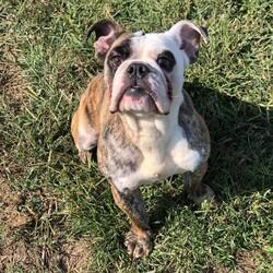 Velma/English Bulldog/Female/Adult