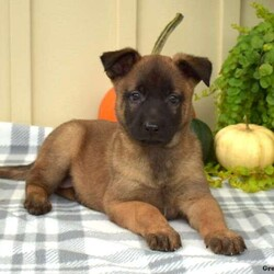 Piper/Female /Female /Dutch Shepherd Puppy