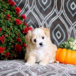 Snowflake/Female /Female /Shih-Poo Puppy