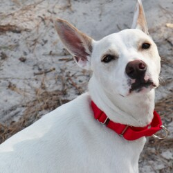 Adopt a dog:Gus/Cattle Dog/Male/Young,Little Gus is just 10 months old and doesn't understand why he's here with us instead of back home.  Unfortunately, Gus didn't take well to children, so here he is.  He's a cattle dog mix that is an absolute darling little guy.  He's not at all used to the sights and sounds of a kennel and is quite nervous at first, but after being away from it for a minute, he relaxes, starts wagging his tail and standing on his hind legs to get your attention.  He's a spunky, happy, bubbly boy that is gentle, playful, and he absolutely loves people.  He pulls a bit on the leash until he settles down but he is otherwise well-trained and housebroken too.  He seems happy to meet other dogs but will need a home with no kids.  Call 609-693-1900 or email:  office@ahsppz.org for an appointment to meet Gus.  File#29818  10/6/20  If interested please visit our Forked River Shelter. We are open Mon. - Fri. from  12:00 P. M. - 6:00 P. M.; and Sat. & Sun. 12:00 P. M. - 5:00 P. M. for directions call 609-693-1900. There is an adoption donation required. The society cannot accept personal checks but we do accept Visa, MC, AE, Discover and cash. As part of our adoption process, we must have proof of residency. Homeowners must show proof of ownership; landlord approval is required for renters before an adoption can be approved.And as always we thank you for your kindness in opening your heart & home to a Society orphan.