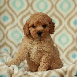 Tammy/Female /Female /Miniature Poodle Puppy
