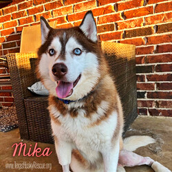 Mika/Siberian Husky/Female/Adult
