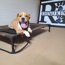 Adopt a dog:Patrick (Riley)/Boxer/Male/Young,https://youtu.be/U8ZAW73vNjY  update. Now 9 months old and Patrick needs to be with dogs his size or bigger. He does not do well with small dogs. He was returned for going after the small dogs in the house. He needs a strong owner who enforces good behavior. He has completed a 3 week board/train and comes with a 2 hour class. He gets along fine with all the dogs in his boarding facility that are his size. He must have secure fencing and is crate trained and housebroke.   This sweet boy is Patrick! Patrick was born January 5, 2020 and is believed to be a boxer mix. He will probably grow to be approximately 50 lbs. Patrick is a playful, affectionate, friendly boy who gets along with everyone.    He is neutered, microchipped, and is fully vetted.   Adoptions are limited to within a 75 mile radius of Cincinnati.  Applications can be submitted online at: https://form.jotform.com/FredsMission/a