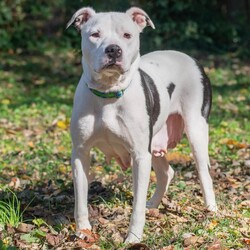 Adopt a dog:Louise/Pit Bull Terrier/Female/Young,Due to the high number of emails we receive, we will not be responding to any inquiries. If interested, please apply on our website, www.luckytalesrescue.org. As long as the pet is viewable, we are accepting applications. No matter the outcome, we will email all applicants once the dog has been adopted. Thank you for your understanding.  **   Hi there, I'm Louise! I'm a 3-year-old pitty who is simply darling although I'm a little shy. Right now, I need to gain a little weight since I'm only 45 lbs., so I'm thoroughly relishing this whole