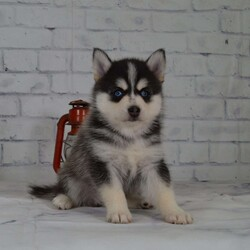 Lyle/Male /Male /Pomsky Puppy,Meet Lyle, a cute and lovable Pomsky puppy ready to be your new best friend! This happy pup is vet checked and up to date on shots and wormer. Lyle can be registered with the ICA and comes with a 2 year health guarantee provided by the breeder. This active pup is family raised with children and would make a wonderful addition to anyone's family. To find out more about Lyle, please contact Jared today!