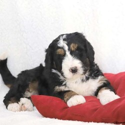 Prince///Bernedoodle Puppy