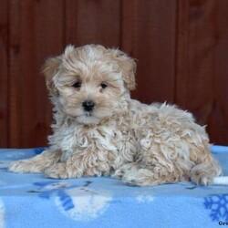 Pistachio/Male /Male /Maltipoo Puppy