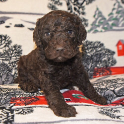 Brownie/Goldendoodle/Male/