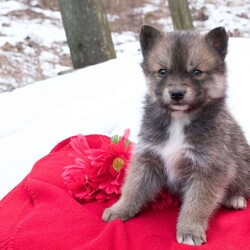 Seattle/Male /Male /Pomsky Puppy