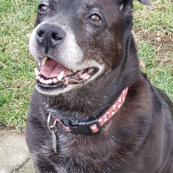 Adopt a dog:Grandma B./Labrador Retriever/Female/Senior,Hi my name is Baby, but my friends here at MVPC call my Granny. I am not sure why I ended up at the shelter, but let me tell you, it was hard on these old bones. Shelters are no place for any dog, let alone an old gal like me. I have two speeds...nothing and slow. I want to nap and eat. That's pretty much it. Can you tell taking my picture isn't a favorite of mine? Food is though. Love food. I am good with other animals, but I am over playing and shenanigans. Cats, dogs, whatever...they are all fine. I just want to lie down and chew on my bones until dinner. I am not a fan of having my nails cut, but other than that, I am not too grumpy. If you just want to exist through life, and eat, I am your girl. Don't leave food near me though...all's fair if you walk away. The shelter isn't too sure what my breed is, so lab was the guess. I was a pretty girl in my hay day, now I am aged and classy.  ADOPTION FEE: $200 (All MVPC dogs are heartworm-tested, completely vetted, spayed/neutered, microchipped, crate-trained and house-trained)  A $100 hold fee is required for approved applications and will be applied to the full adoption fee at the time of the home visit.  ADOPTER: Dog experience BIRTHDAY: Estimated 11 years FENCE: Preferred (an electric fence is not an acceptable form of containment) DOGS: Yes, but I don't want to play CATS: Sure KIDS: Yes, over 8 please, I am an old lady   INQUIRIES: ALL inquiries begin with a submitted adoption application, which is found on our website, www.miamivalleypitcrew.com. We do not adopt to individuals under the age of 25. We prefer male/female dog pairings unless both already reside in the home.   DO NOT: USE THE PETFINDER CONTACT/ADOPT BUTTONS--we are unable to monitor those and you will not receive a response.   PLEASE NOTE: We are volunteer based and a home visit is required; we have a two-hour adoption radius from Kettering, OH for our adult dogs and 75 miles for our puppies. Exceptions for our ADULT dogs only, though rare, may be made on a case-by-case basis but we must be able to do a home visit. Thank you for your understanding!