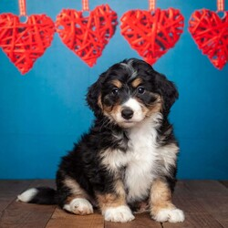 Tonie/Female /Female /Mini Bernedoodle Puppy