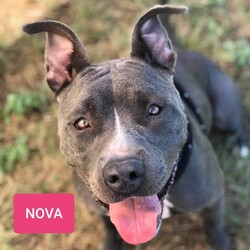 *Nova/Pit Bull Terrier/Female/Adult
