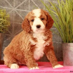 Whinnie/Female /Female /Mini Bernedoodle Puppy