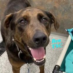 Adopt a dog:Ben TSC/Plott Hound/Male/Adult,