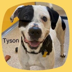 Tyson/American Bulldog/Male/Adult