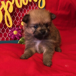Zyler/Pomeranian/Male/,Meet Zyler! He is as handsome and loving as they come. Zyler will be sure to win your heart over with just one look. This little pup is always up for anything. He loves to play with toys. When he is all done with playtime, he will be the first one to curl right up to you for a good, old afternoon nap. Zyler will be coming home to you up to date on his vaccinations and will have a full head to tail checkup. Don't miss out on this lovable, handsome boy. He will surely be the perfect puppy addition to your family!
