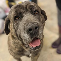 Adopt a dog:Marcus/Cane Corso/Male/Adult,Let's take a jog, sniff all the flowers than lay on the couch together, k?  Looking for adult-only home, preferably with no other pets so I can be the object of your attention.