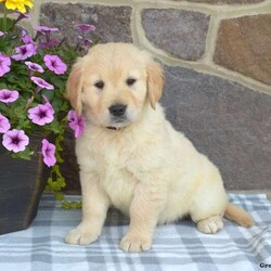 Marshall/Male /Male /English Cream Golden Retriever Puppy,Check out Marshall! He is an English Cream Golden Retriever puppy who loves to run and play. This friendly guy is family raised with children and is well socialized. Marshall is vet checked and up to date on shots and wormer. He can be registered with the APRI, plus comes with a health guarantee provided by the breeder. To find out how you can welcome Marshall into your heart and home, please contact the breeder today!