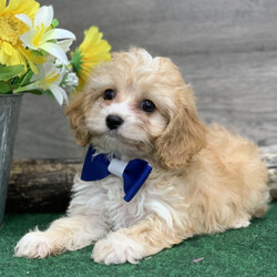 Carl/Cavapoo/Male/,Your search has ended. Meet Carl! He is the true definition of man's best friend. Carl loves to play and is ready at any moment to play with you or his toys. He will come home to you up to date on vaccinations and vet checked from head to tail! Carl has a very loving disposition and is looking for the perfect family to share that with. Could it be your family? He sure hopes so!