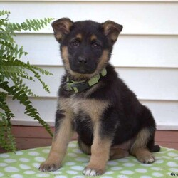 Bailey/Female /Female /German Shepherd Puppy