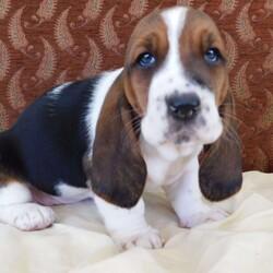 Stella/Female /Female /Basset Hound Puppy,Note from the breeder: