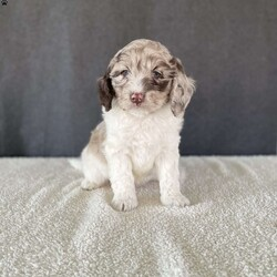Ozzie/Male /Male /Mini Labradoodle Puppy