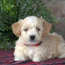 Georgie-F1B/Male /Male /Mini Goldendoodle Puppy,Say hello to Georgie, a peppy F1B Miniature Goldendoodle puppy! This handsome boy is vet checked, up to date on shots and wormer, plus comes with a 30 day health guarantee provided by the breeder. Georgie can't wait to meet you and become your new best friend. If you are interested in adopting this friendly fella, please contact Rachel today!