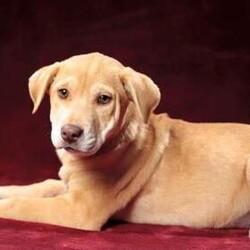 Adopt a dog:me/Labrador Retriever/Female/Baby,