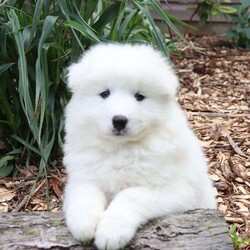 Tim/Male /Male /Samoyed Puppy,Meet Tim, a happy and lovable Samoyed puppy ready to be your new best friend! This kissable pup is vet checked and up to date on shots and wormer. Tim can be registered with the AKC, is microchipped and comes with a health guarantee provided by the breeder. This adorable pup is family raised with children and would make the best addition to anyone's family. To find out more about this well socialized pup, please contact Norman & Marian today!
