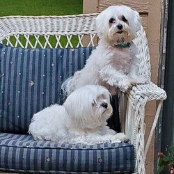Adopt a dog:me/Maltese/Male/Adult,Meet Ren and Phinney, two bonded Maltese brothers! Ren is 8 years old and weighs 7 lbs. Phinney is 6 years old and weighs 9 lbs. They originally came from the same breeder and have been together for 5 years. They are definitely bonded and enjoy each other's company! Phinney loves laying on your lap, running and playing with small toys, and always wants to know where his people are! Ren is a little less active, loves to sleep next to his brother but will get the sillies sometimes and rub his head on your legs! They are potty trained but have regressed some since coming into foster care. A little training and they'll know what to do. This breed requires grooming and gentle, loving care. They lived with 3 cats in their previous home without issue. They do fine with the kids (age 10+) in their foster home and with a good introduction may be okay with younger children too.  Ren & Phinney's adoption fee is $250 each which includes neuter, age-appropriate vaccines/tests, and microchip.  If you would like to meet Ren and Phinney, please complete an online application that can be found at: http://hopeanimalrescueofiowa.org/forms/196/dog-applicatio