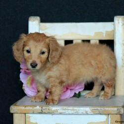 Velvet/Female /Female /Dachshund Puppy